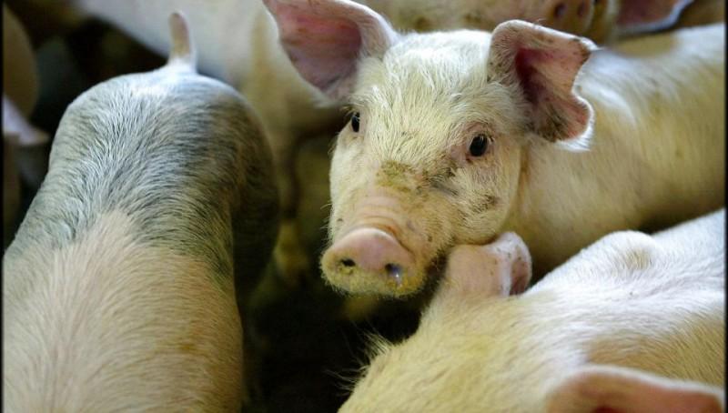 Воронежская область: За год количество свиней в сельхозорганизациях выросло на 13 процентов