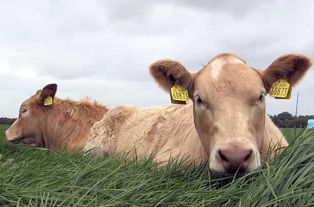 Мясо от молочных пород КРС не уступает в качестве мясу телят