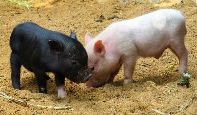 В Украине стало в 8 раз больше иностранной свинины