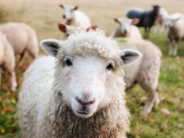 Прогресс в овечьей шкуре: кому нужна технология создания генетических копий животных